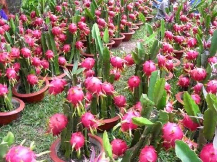 buah naga mencegah kanker