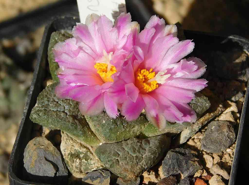 bunga ariocarpus