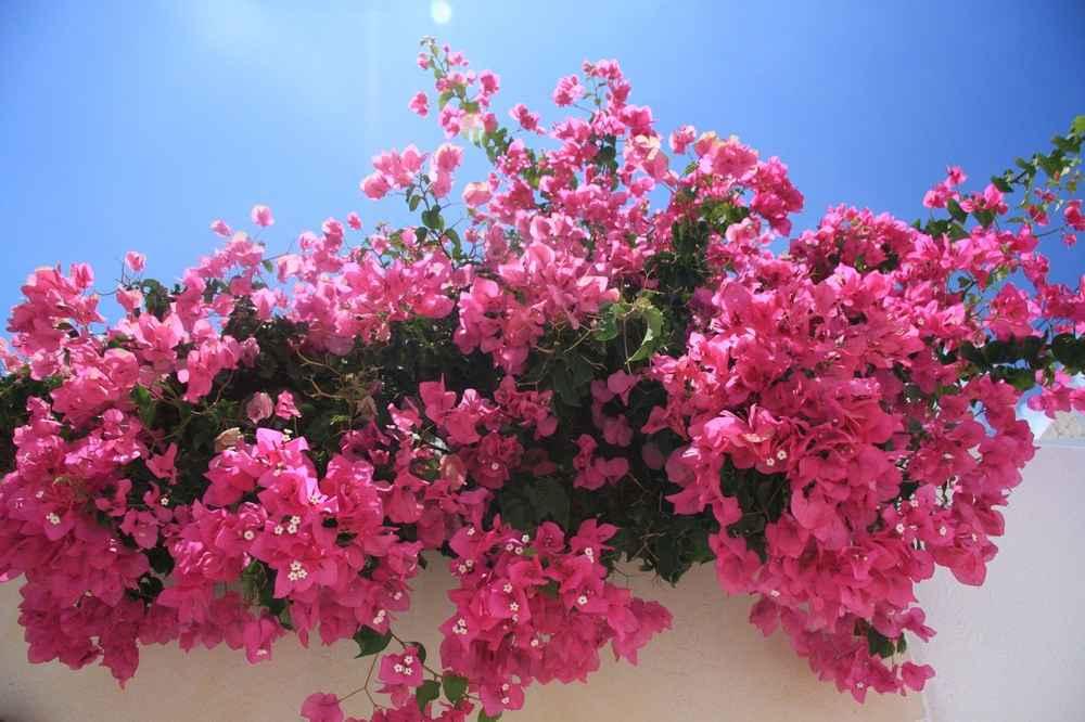 bunga bugenvil