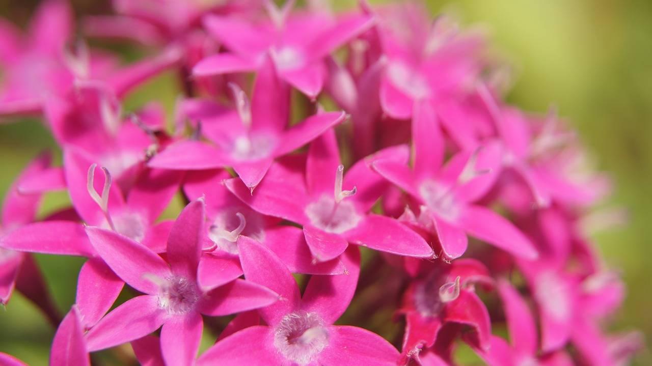 bunga pentas