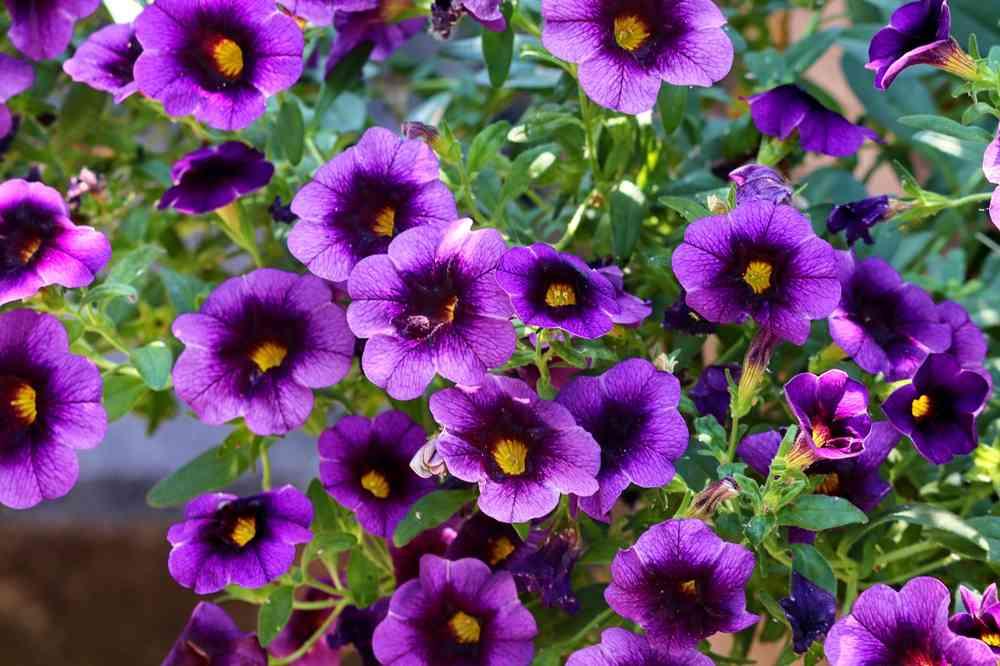 bunga petunia
