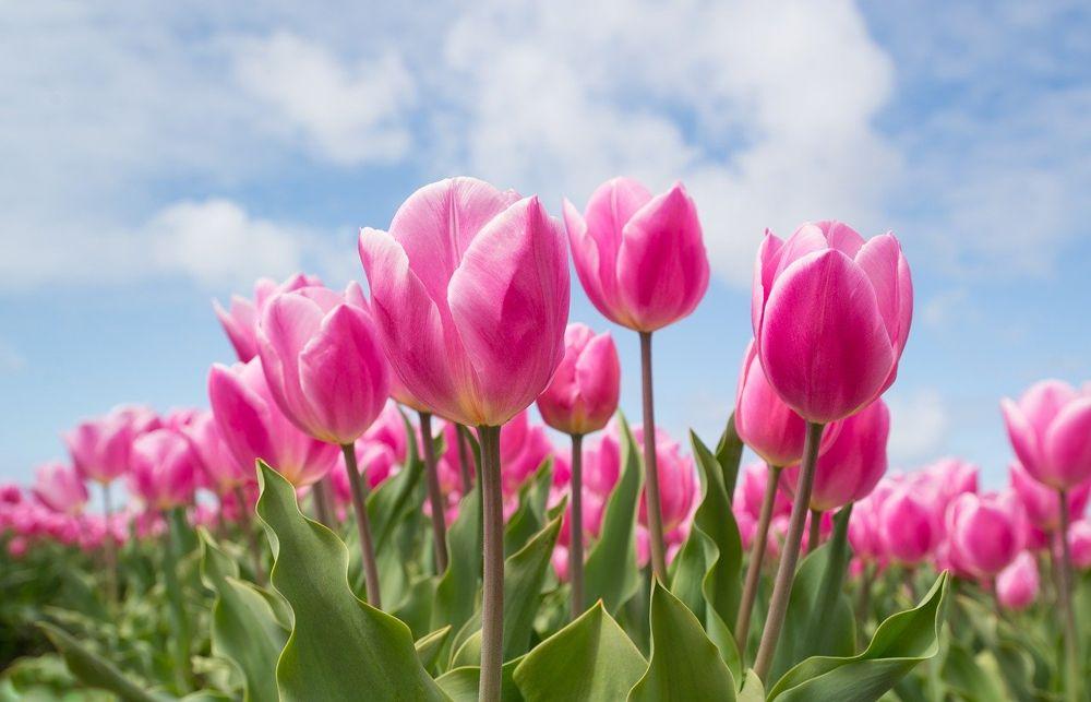bunga tulip