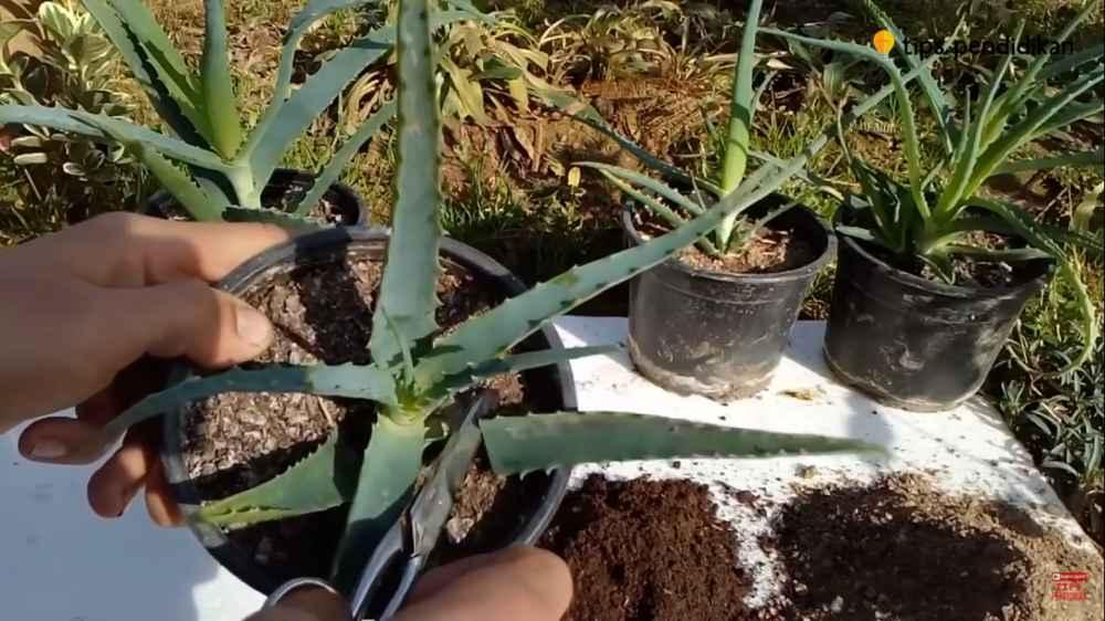 cara menanam lidah buaya di pot