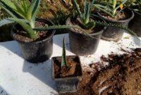 cara menanam lidah buaya tanpa akar
