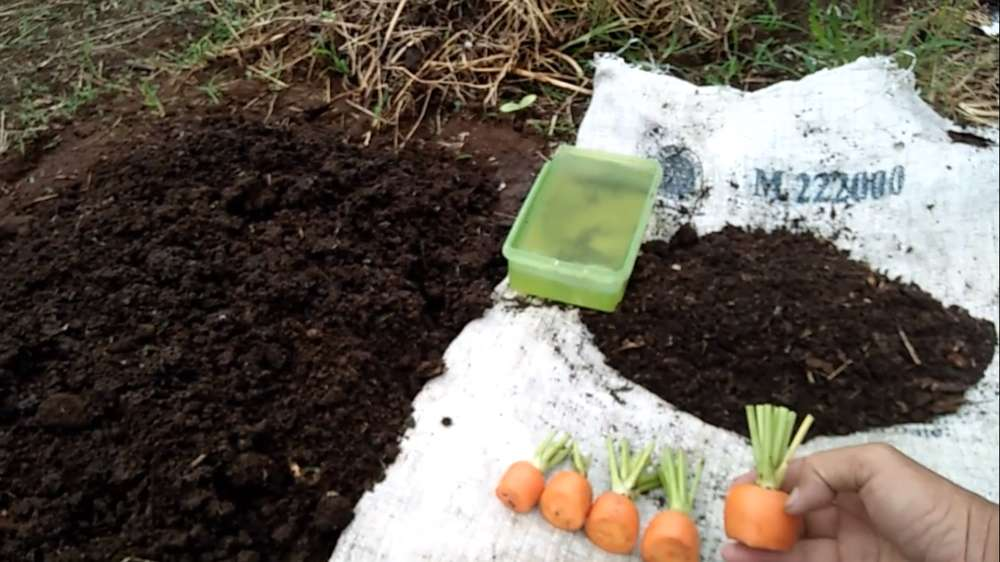 cara menanam wortel di kebun