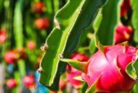 manfaat kulit buah naga