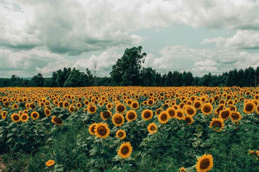 Pemilihan Varietas Bunga Matahari